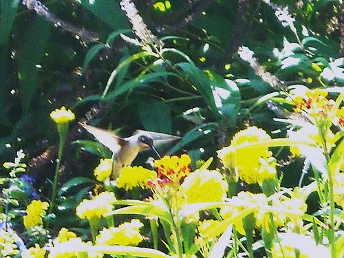 hummingbird-in-flight
